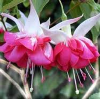 10 X FUCHSIA SEVENTH HEAVEN